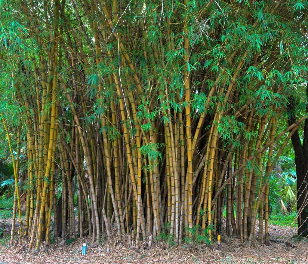 Bamboo Plant Types What Are Some Common Bamboo Varieties
