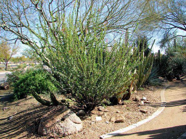 Ocotillo Care: Tips On Planting Ocotillo In The Garden - Dummer. ゛ ...