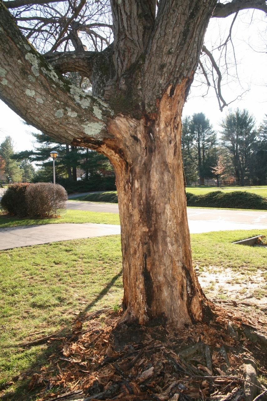 Maple Tree Bark Disease Diseases On Maple Trunk And Bark Dummer Garden Manage Gfinger Es La App De Jardineria Mas Profesional