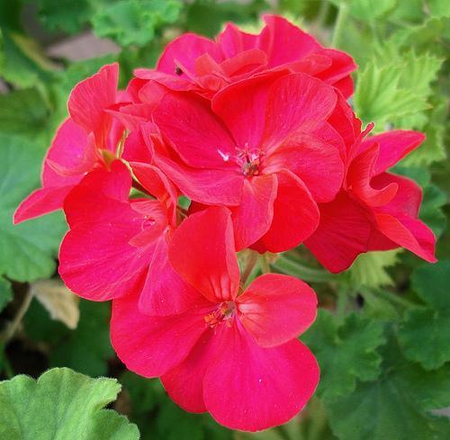 花 言葉 ゼラニウム