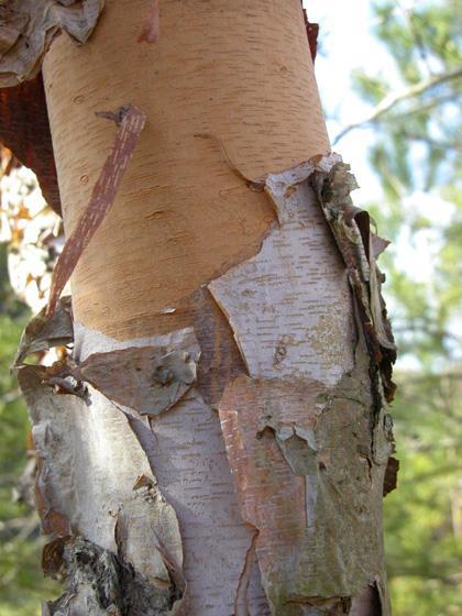 Why Is The Bark Peeling Off My Dogwood Tree