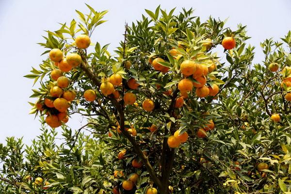 How To Grow A Clementine Tree In Your House Miss Chen