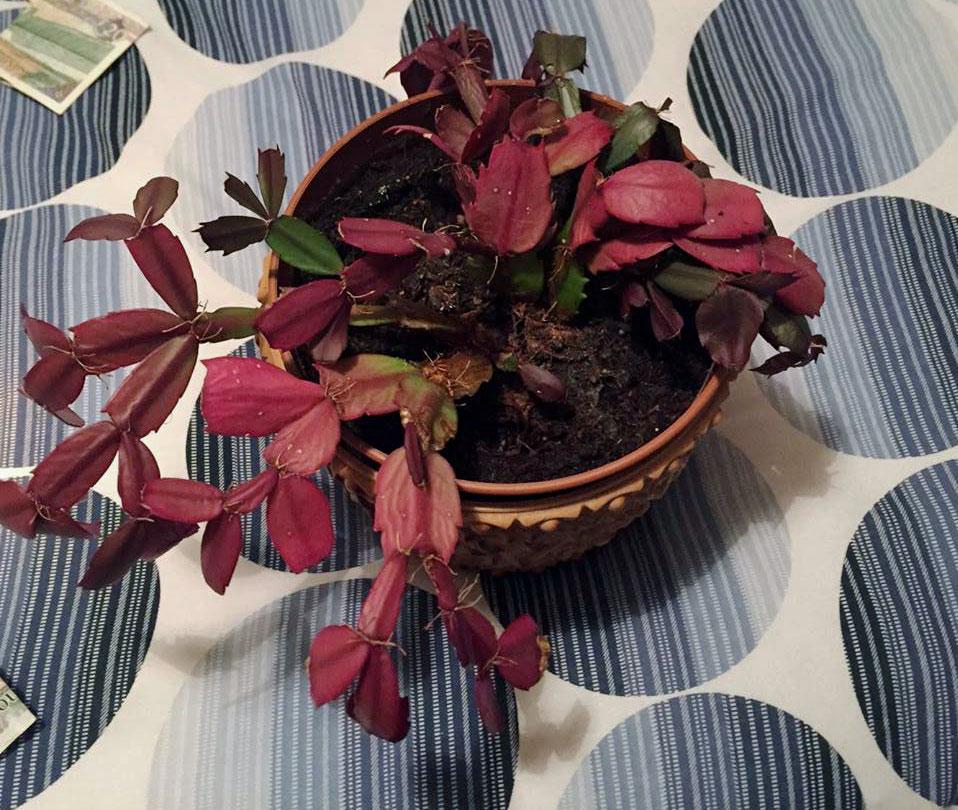 Yellow Christmas Cactus Leaves: Why Do Christmas Cactus