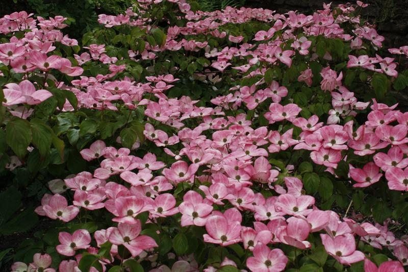 Dogwood Tree Types Common Varieties Of Dogwood Trees Dummer