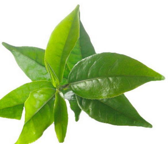 Hoja de te rojo planta medicinal