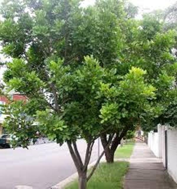 Carrotwood Tree Information: Tips On Carrotwood Tree Care In Landscapes -  Dummer. ゛☀ - Garden Manage - GFinger is the best garden manage app
