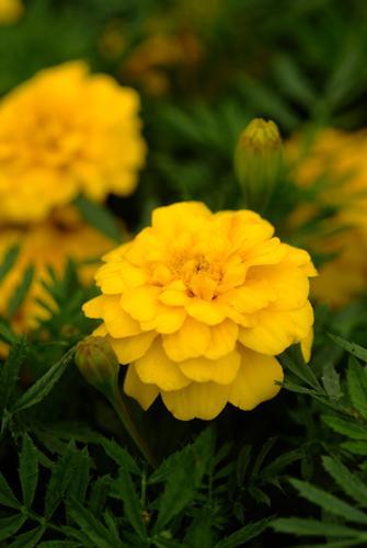 マリーゴールドの特徴と種類 玲儿 Garden Manage Gfinger Is The Best Garden Manage App