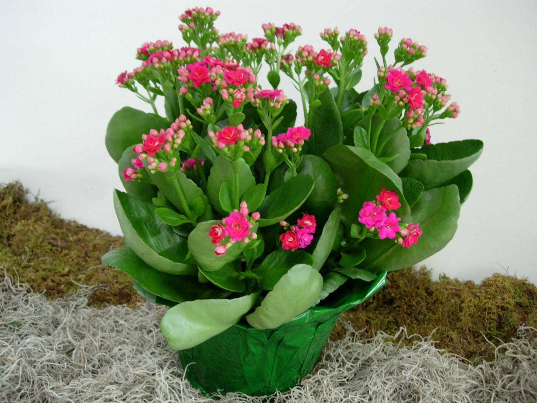 Kalanchoe Care – Tips On How To Grow Kalanchoe Plants - Dummer. ゛ on peace lily plant care indoors, lavender plant care indoors, gardenia plant care indoors, growing plants indoors, croton plant care indoors, rosemary plant care indoors, hyacinth plant care indoors, cyclamen plant care indoors, celosia plant care indoors, aloe vera plant care indoors, hydrangea plant care indoors, azalea plant care indoors, fiddle leaf fig care indoors, jasmine plant care indoors, calla lily plant care indoors, calathea plant care indoors, ivy plant care indoors, cool plants to grow indoors, begonia plant care indoors, yucca plant care indoors,