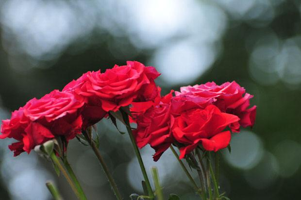 Rose Cutting Tips That Maximize Display Life Joss Green Fingers