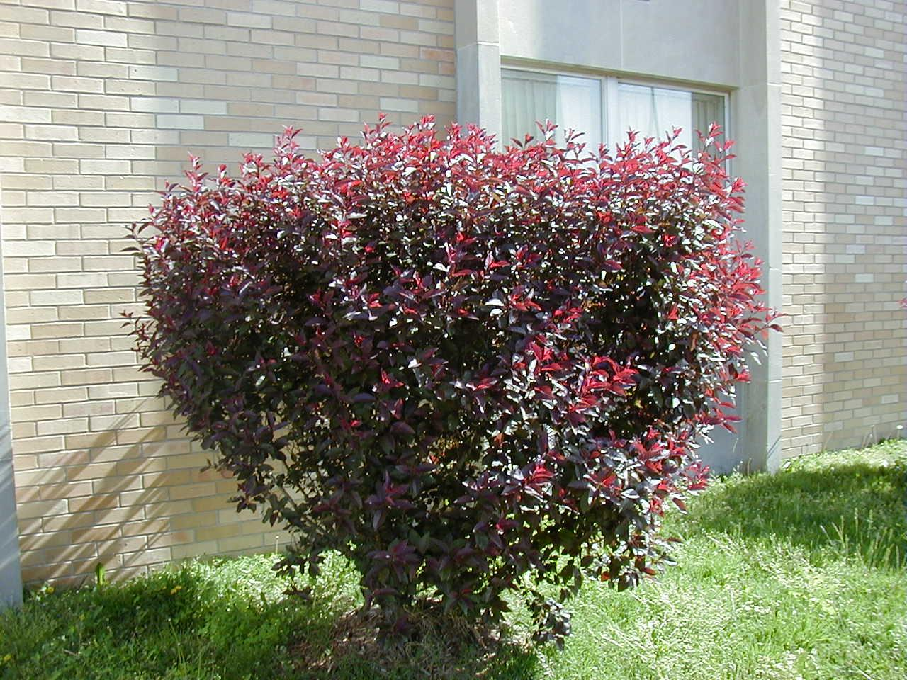 Pruning Plum Leaf Sand Cherry When And How To Prune A Purple Leaf