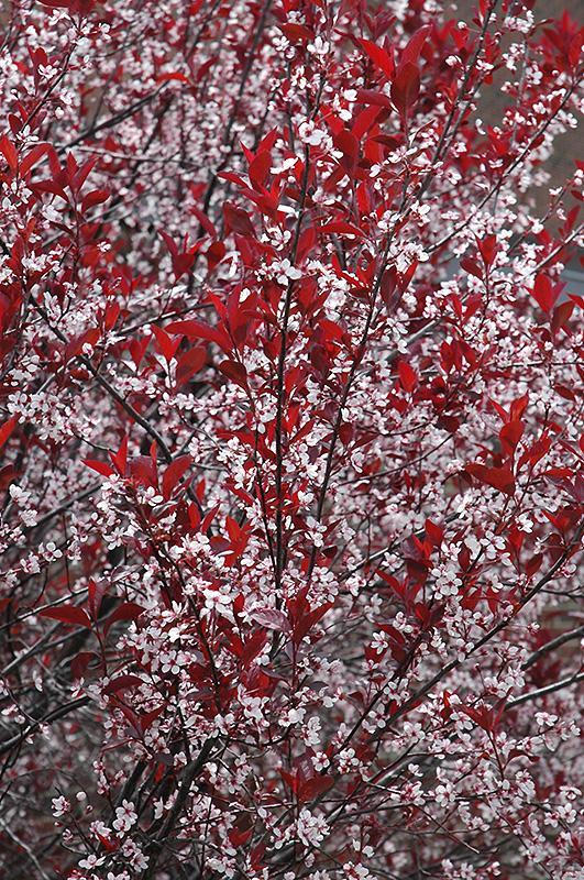 Sand Cherry Plant Care How To Grow A Purple Leaf Sand Cherry