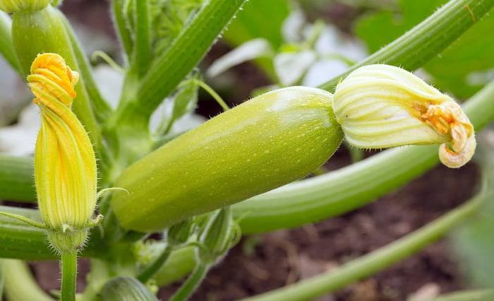 The Growth Stages of a Zucchini Plant - Miss Chen - Garden