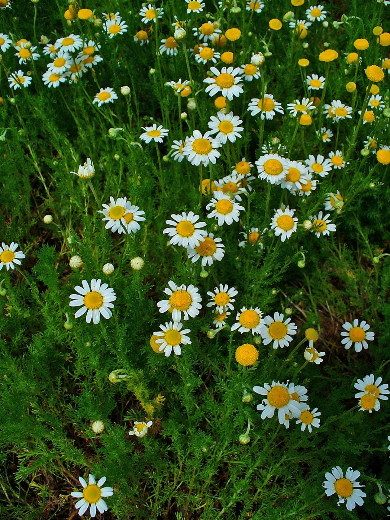 How To Grow And Care For A Chamomile Herb Dummer Green