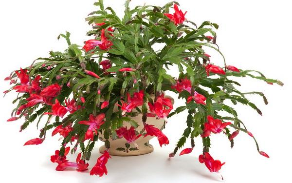 christmas cacti are notoriously difficult to root this article might help you in rooting pieces for new plants or just rooting another in the same pot with - How To Root A Christmas Cactus