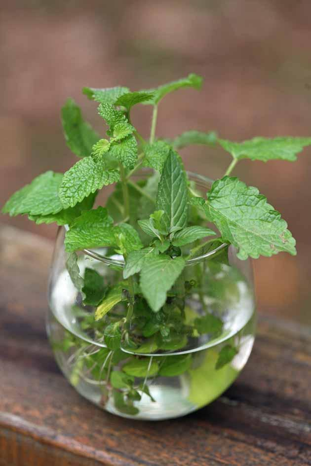 How To Grow Mint Indoors Growing And Planting Is Easy You Can Find In A Pot Of Soil Or Even Bottle Water