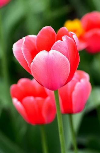 How To Plant Tulips Outside After They Bloom In Pots Miss Chen