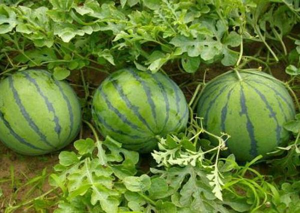 When Is It Too Late To Plant Watermelon Plants Miss Chen Garden Manage Gfinger Es La App De Jardineria Mas Profesional