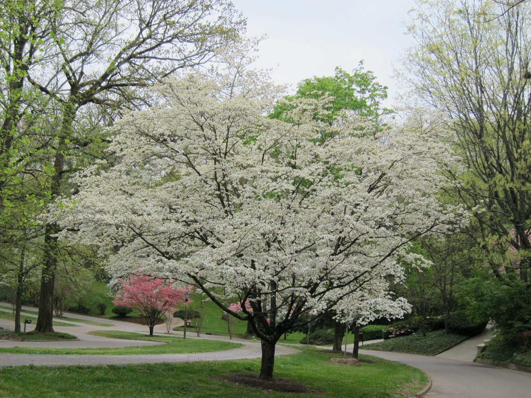 T Dogwood Trees Tips On How To
