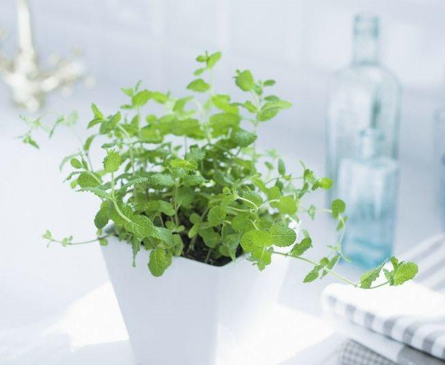 Lots Of People Grow Mint Out In The Garden And For Those Who Know Just How Vigorous This Herb Plant Is Then It S No Surprise To Learn That Thrives
