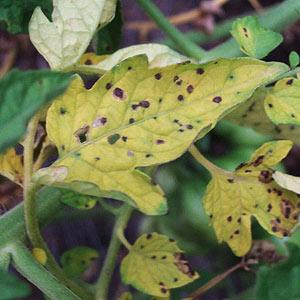Septoria Leaf Spot of Tomato - Dummer  ゛☀ - Garden Manage