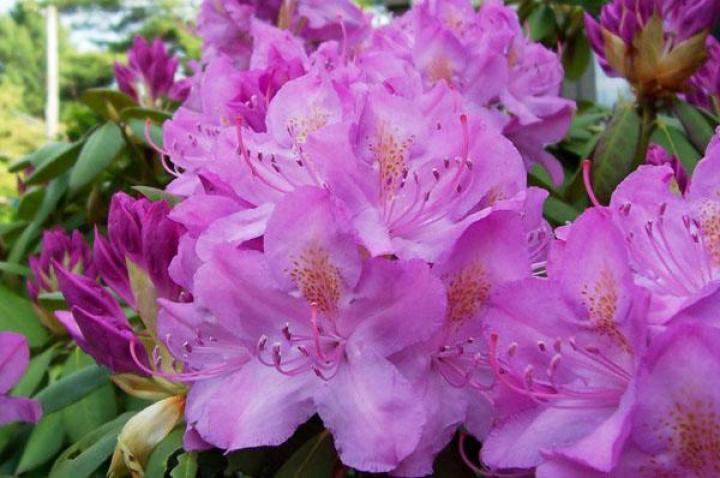 Rhododendrons Dummer Garden Manage Gfinger Es La App