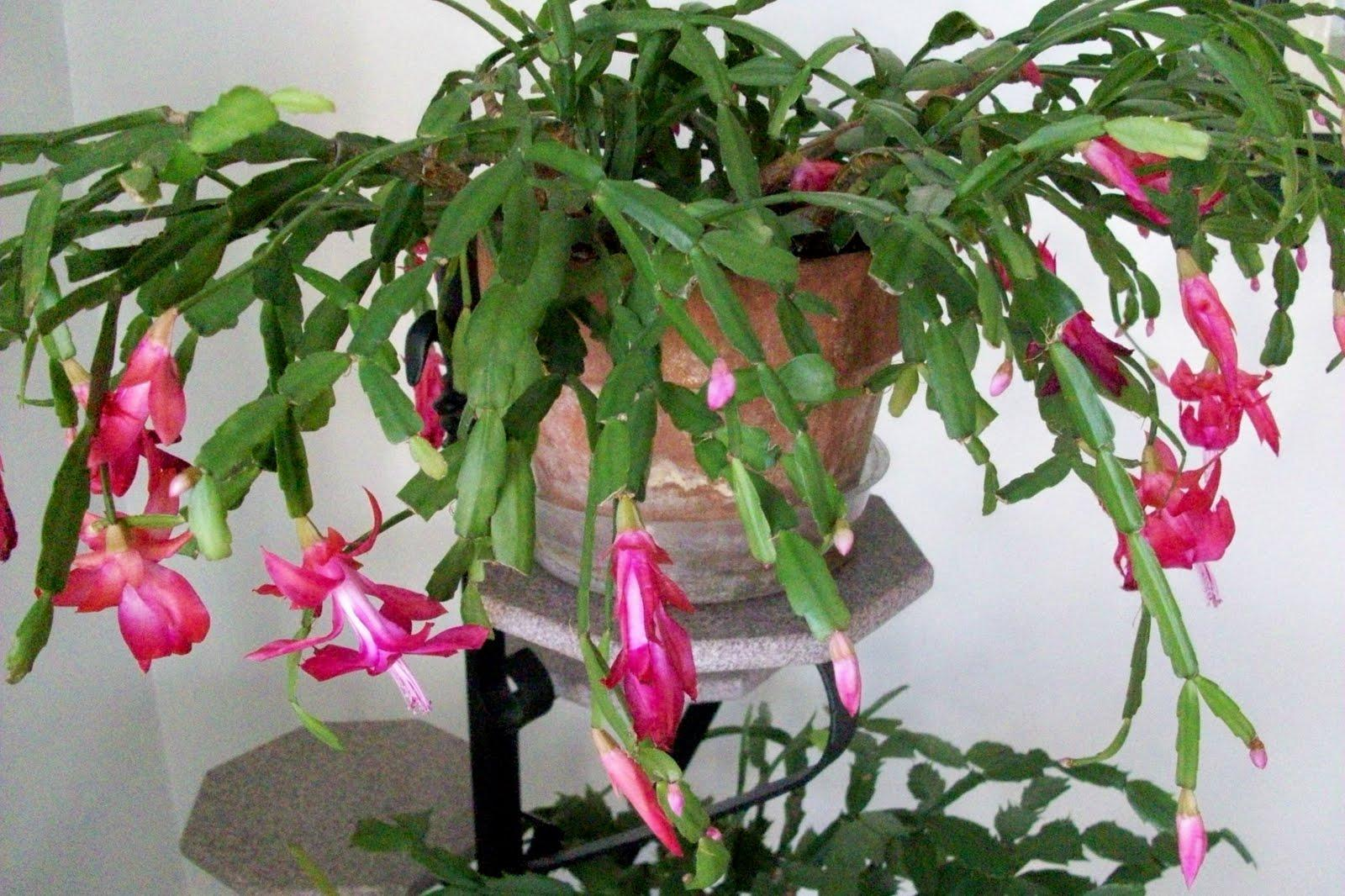 repot christmas cactus into a pot only slightly larger than the current container be sure the container has a drainage hole in the bottom