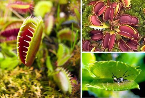 食 虫 植物