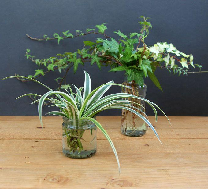 Growing Spider Plants Indoors: Spider Plant Water Cultivation: Can You Grow Spider Plants
