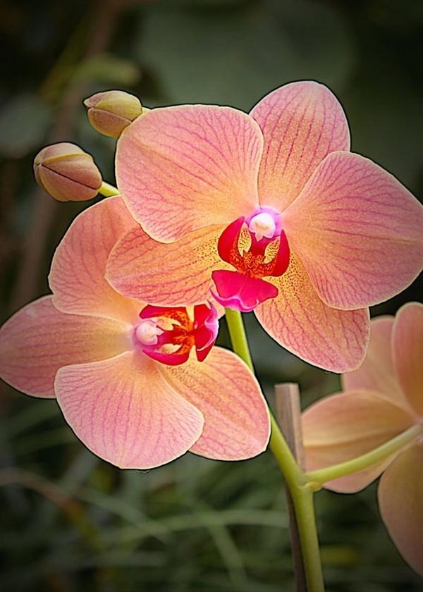 My Orchid Flowers Are Wilting Miss Chen Garden Manage Gfinger Is The Best Garden Manage App