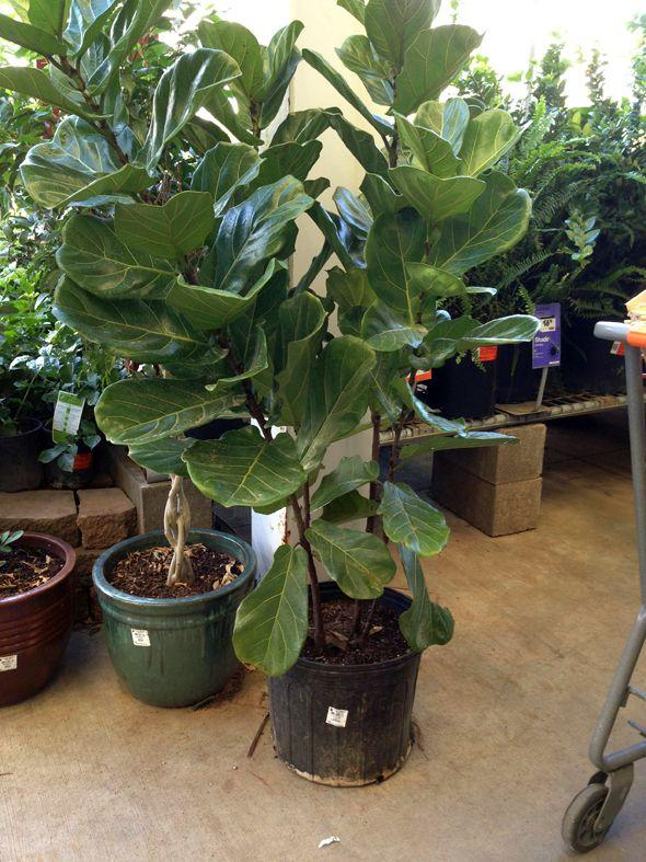Like The Weeping Fig Banana Leaf Ficus Tree Grows Into A Small Up To 12 Feet Tall And Is Usually Grown As Houseplant