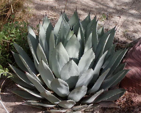 How To Save A Dying Agave Plant Miss Chen Garden Manage