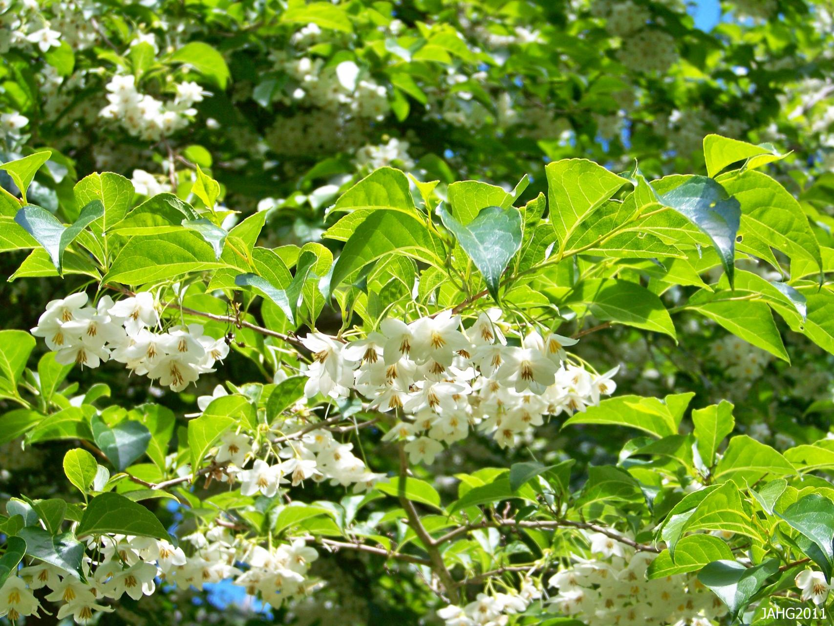 Japanese Snowbell Growing Tips On Japanese Snowbell Tree Care