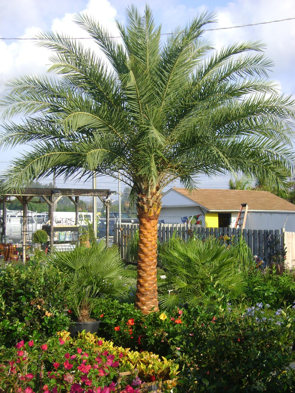 christmas tree palms bear arching pinnate leaves that may approach 5 feet in length one of the more interesting christmas palm tree facts is why it came by - Christmas Palm Tree Pictures