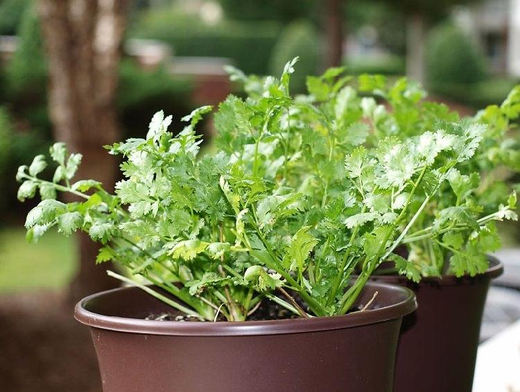 How To Grow Cilantro In A Pot Andy Garden Manage Gfinger Is