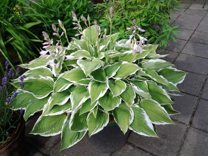 Hosta Houseplant Care How To Grow Hosta Indoors Dummer