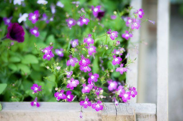 How To Take Care Of Lobelia Plants Miss Chen Garden Manage