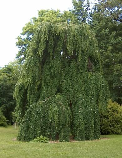What Is A Weeping Mulberry Learn About