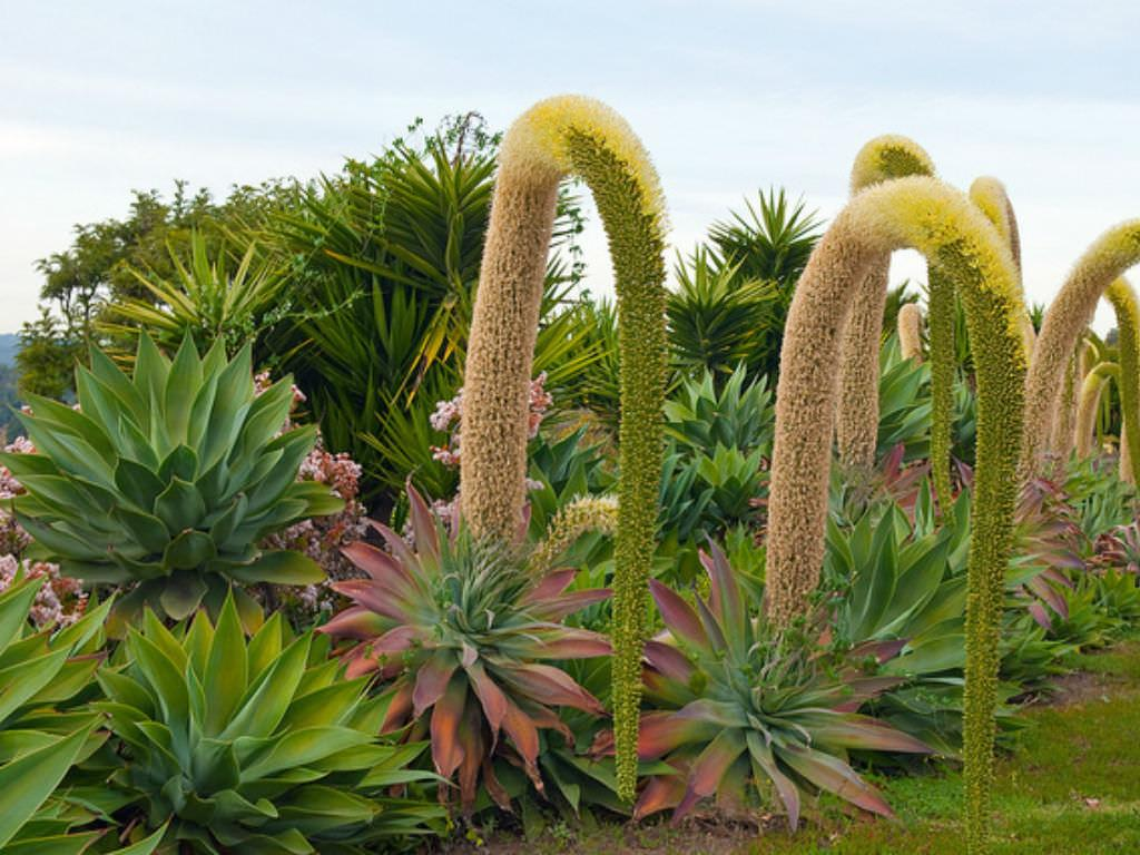 How To Grow And Care For A Fox Tail Agave Agave Attenuata