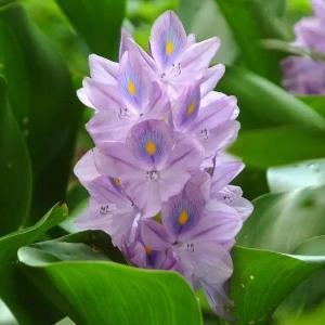 容易泛滥成灾的凤眼莲,却是很好的盆栽观赏植物