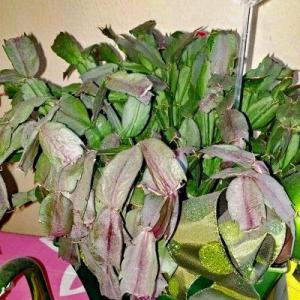 Yellow Christmas Cactus Leaves: Why Do Christmas Cactus Leaves Turn Yellow