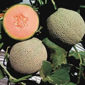 Plagas, enfermedades y fisiopatías en cultivo de melones