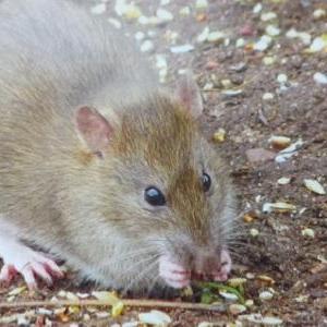 Eliminar ratones