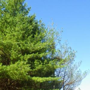 Procera Root Rot of White Pine
