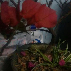 从硕一开始到现在的三角梅…四年了从未修剪过也从不施肥,粗生粗养,即使这样整株植物已经拍照不能同框了…只能分开拍枝条和树干部分。而且每年都能开花。真的很适合我这种空闲时间不多的搬砖狗。本来是枚红色的,最近不知道是不是缺水还是啥,变成了我喜欢的正红色。前段时间在一个公园里看到有白色的三角梅,好像去掐一枝回来种啊。可是小小的宿舍阳台已经没位置了。。。
