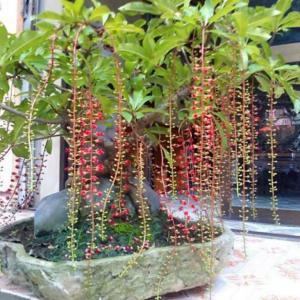 Barringtonia acutangula – Indian Oak