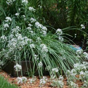 My Garlic Fell Over – How To Fix Drooping Garlic Plants