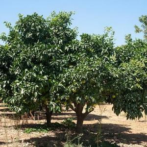 Árboles frutales: Pomelo