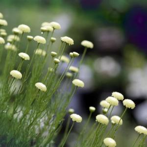 サントリナの育て方・栽培方法