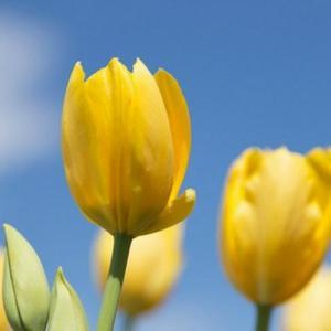 Yellow tulip—Mito enjoy