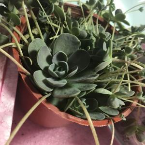 新的多肉植物《白蔓蓮》😃😃